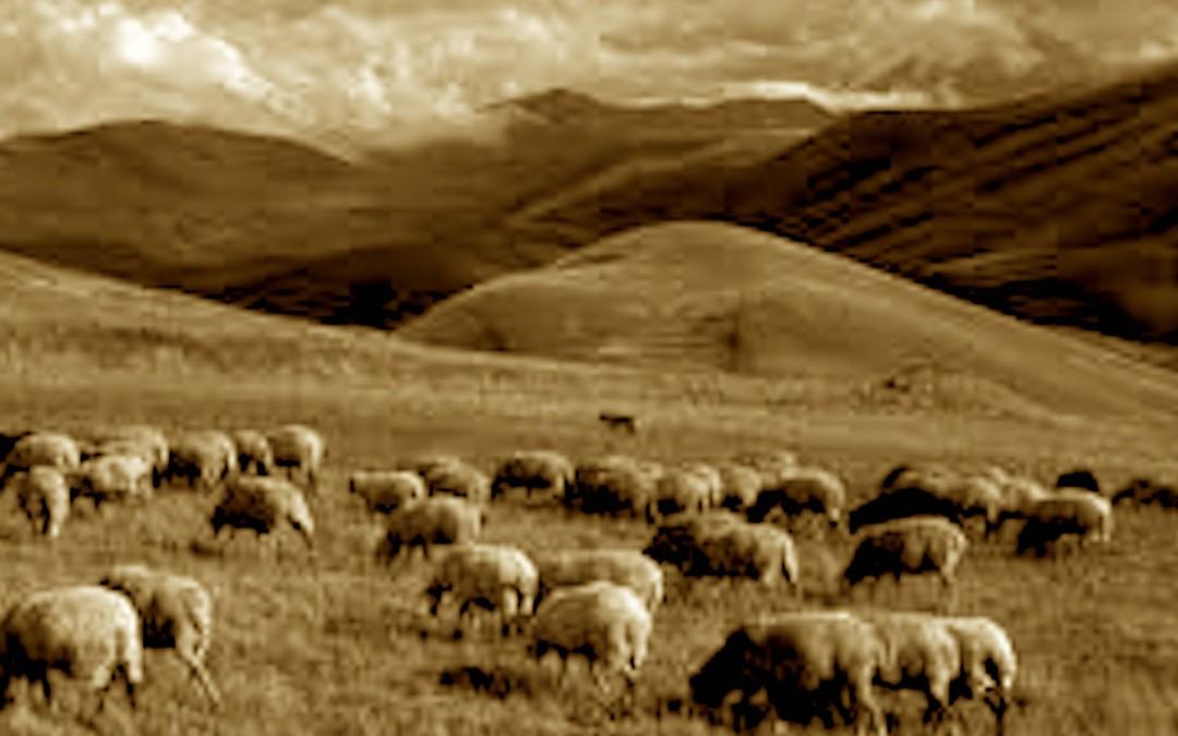 l'allevamento delle pecore